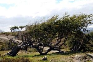 arbol fuerza del viento ushuaia