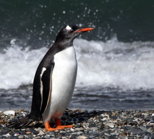 pinguino ushuaia