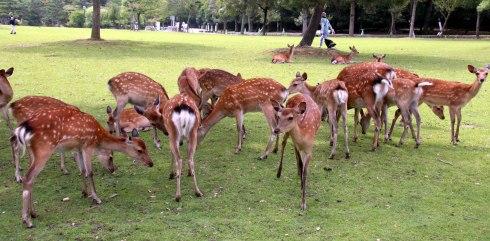 ciervos parque Nara